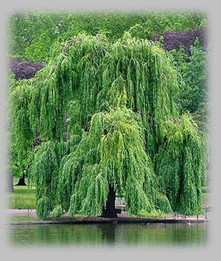 Rekviem Temetkezés fűzfa